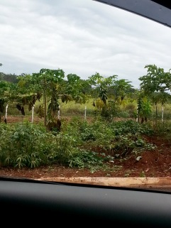 ​An avenue with papaya trees. In fact, there's also an avenue of coffee plants called Avenue do Cafe.