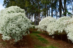 ​We saw these white bushes for miles along the highway; we simply had to stop and take a closer look.